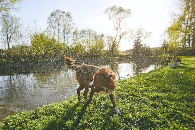 σκυλί από το τίναγμα του ύδ& στοκ εικόνες