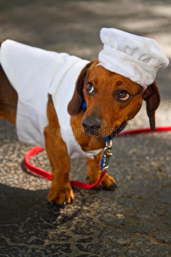 σκυλί αρχιμαγείρων στοκ εικόνες