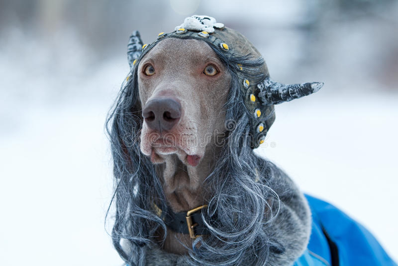 Σκυλί Βίκινγκ Weimaraner στοκ εικόνα