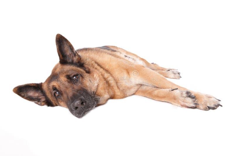 σκυλί γερμανικά που βάζε& στοκ φωτογραφίες