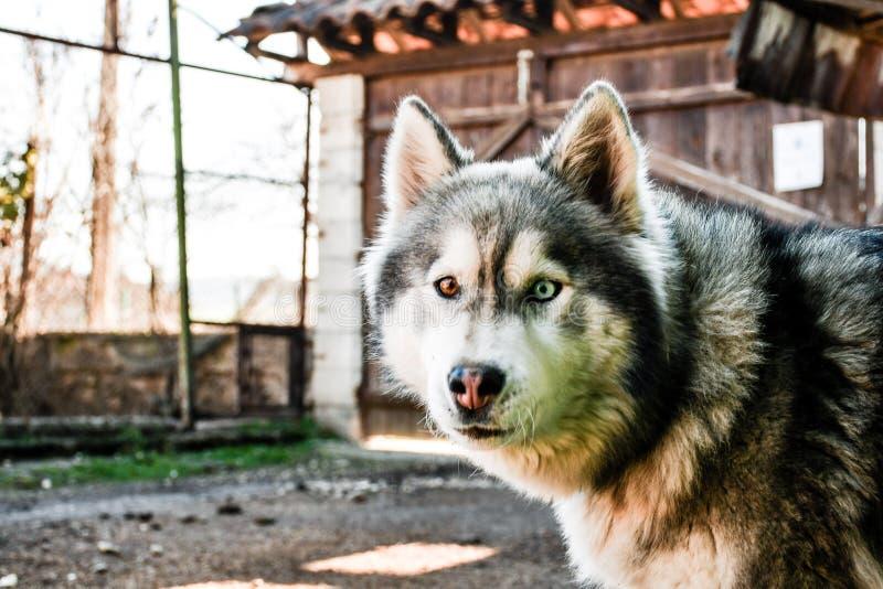 σκυλί γεροδεμένος Σιβηριανός στοκ φωτογραφία