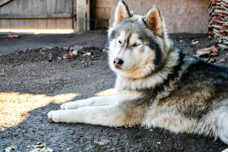 σκυλί γεροδεμένος Σιβηριανός στοκ φωτογραφίες