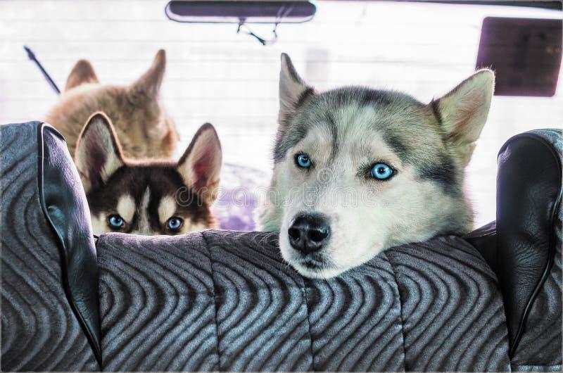 Σκυλί γεροδεμένο στο αυτοκίνητο στοκ εικόνες