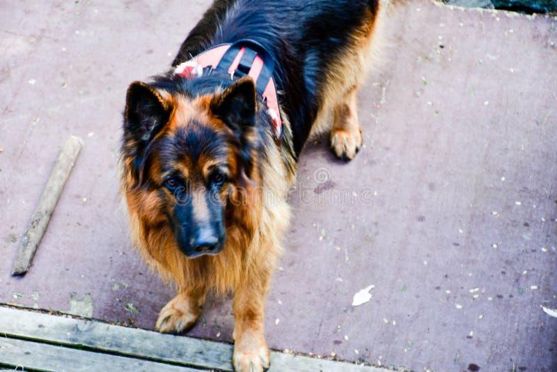 Σκυλί διάσωσης στοκ φωτογραφίες με δικαίωμα ελεύθερης χρήσης