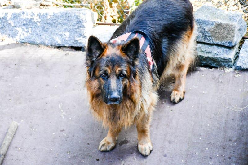 Σκυλί διάσωσης στοκ φωτογραφία