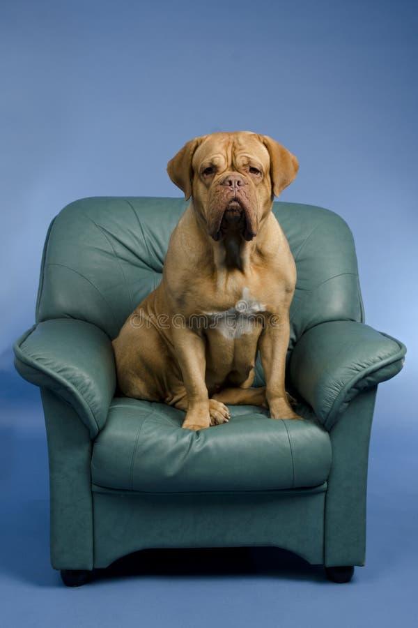σκυλί εδρών βραχιόνων στοκ εικόνα με δικαίωμα ελεύθερης χρήσης