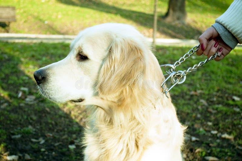 Σκυλί εκμετάλλευσης γυναικών στην αλυσίδα στοκ εικόνες