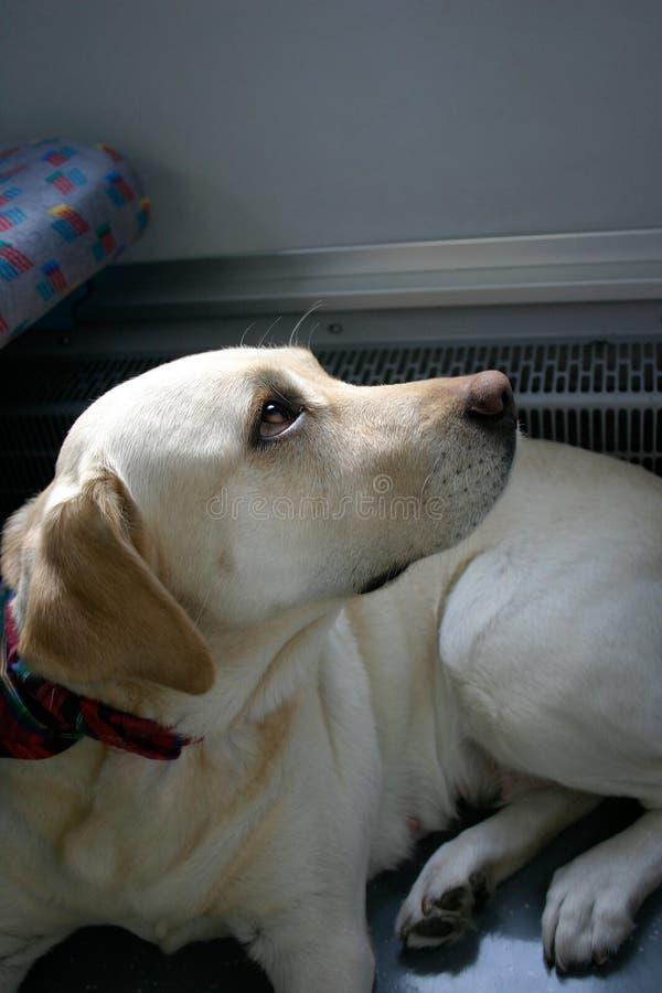 σκυλί ΙΙ αστικό στοκ εικόνες με δικαίωμα ελεύθερης χρήσης