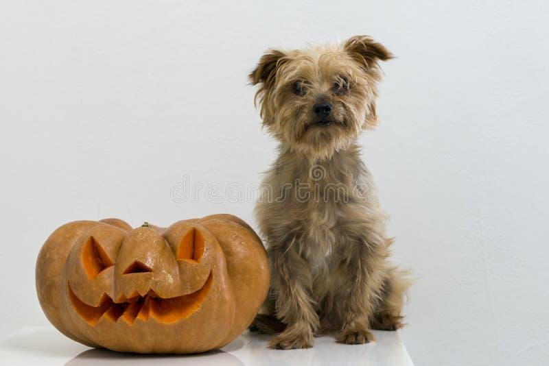Σκυλί και πραγματική πορτοκαλιά κολοκύθα αποκριών με τη χάραξη στοκ φωτογραφίες με δικαίωμα ελεύθερης χρήσης