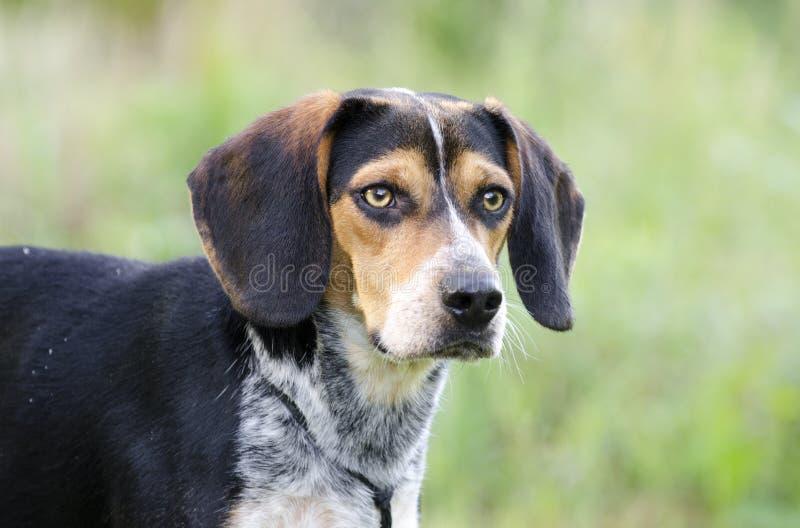 Σκυλί κουνελιών κυνηγόσκυλων λαγωνικών στοκ εικόνα
