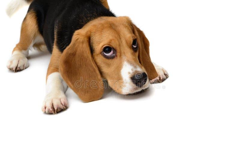 Σκυλί κουταβιών λαγωνικών που απομονώνεται σε ένα άσπρο υπόβαθρο στοκ εικόνα με δικαίωμα ελεύθερης χρήσης