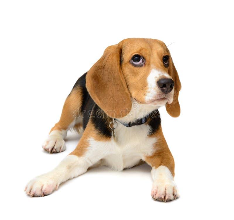 Σκυλί κουταβιών λαγωνικών που απομονώνεται σε ένα άσπρο υπόβαθρο στοκ εικόνα