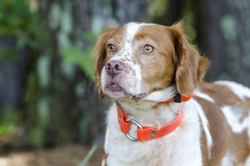 Σκυλί κυνηγιού σπανιέλ της Βρετάνης με το πορτοκαλί ακολουθώντας περιλαίμιο ασφάλειας στοκ φωτογραφίες με δικαίωμα ελεύθερης χρήσης