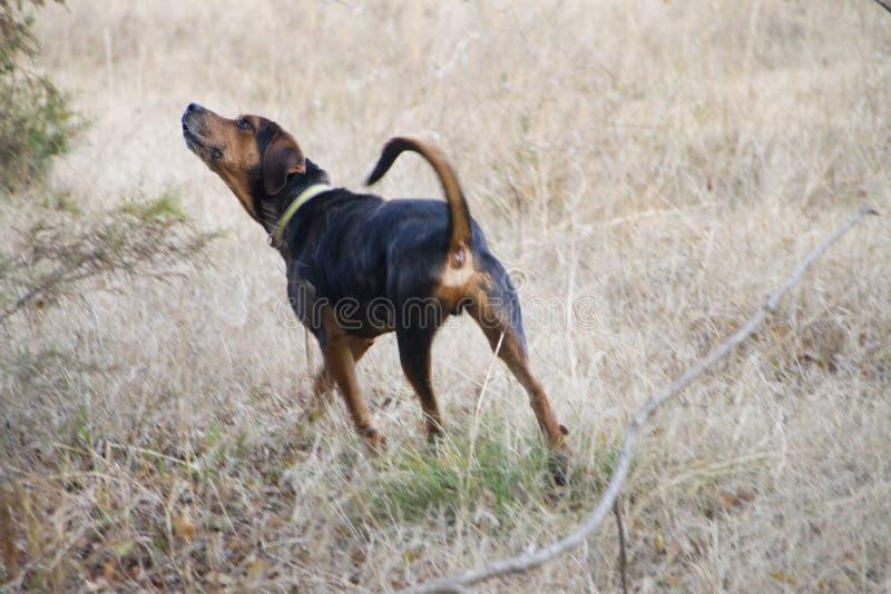 Σκυλί κυνηγόσκυλων που στέκεται στη χλόη που ανατρέχει στοκ φωτογραφία με δικαίωμα ελεύθερης χρήσης