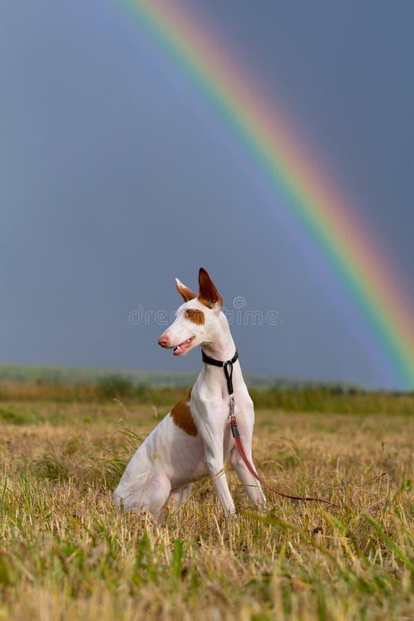 Σκυλί κυνηγόσκυλων Ibizan με το ουράνιο τόξο στοκ φωτογραφία με δικαίωμα ελεύθερης χρήσης