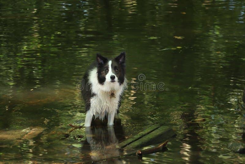 Σκυλί κόλλεϊ οικότροφων σε μια λίμνη που περιβάλλεται από τα δέντρα στοκ φωτογραφία