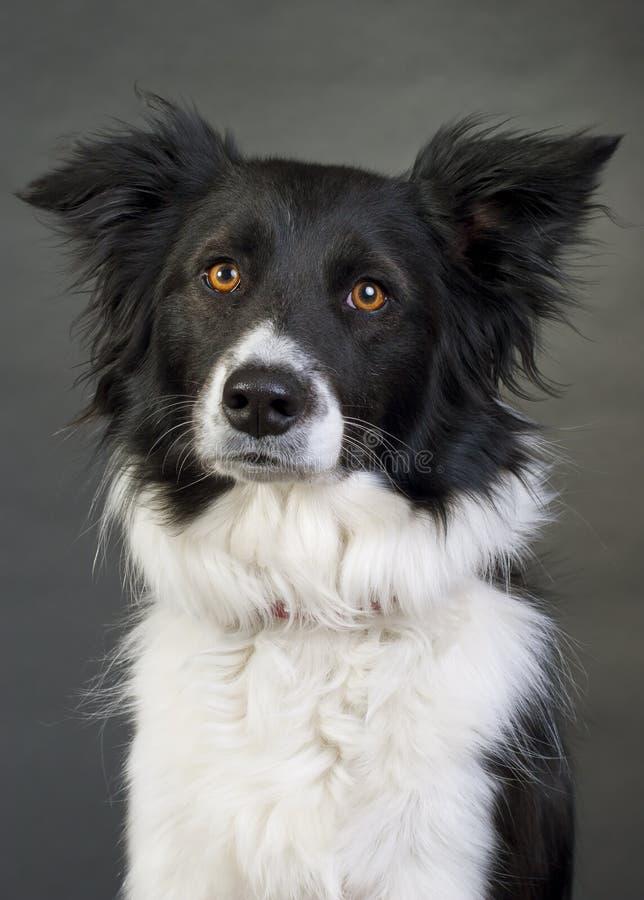 σκυλί κόλλεϊ συνόρων στοκ εικόνα