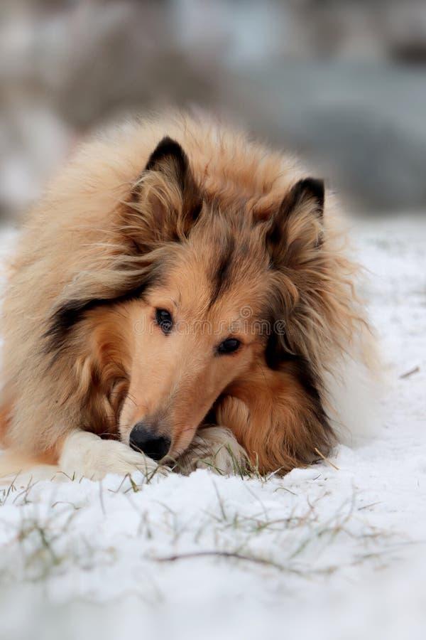 Σκυλί κόλλεϊ το χειμώνα στοκ φωτογραφία με δικαίωμα ελεύθερης χρήσης