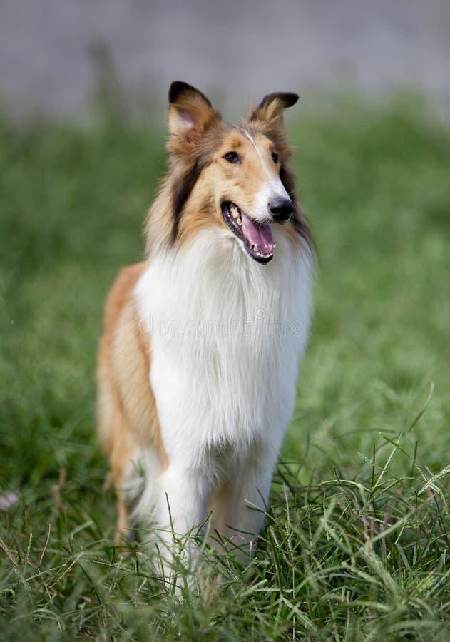 Σκυλί κόλλεϊ στοκ φωτογραφία