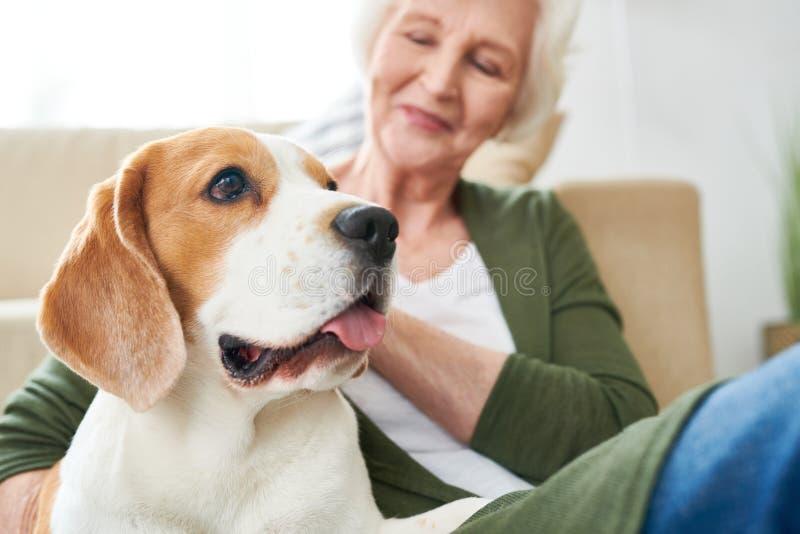 Σκυλί λαγωνικών με τον ανώτερο ιδιοκτήτη στοκ φωτογραφία με δικαίωμα ελεύθερης χρήσης