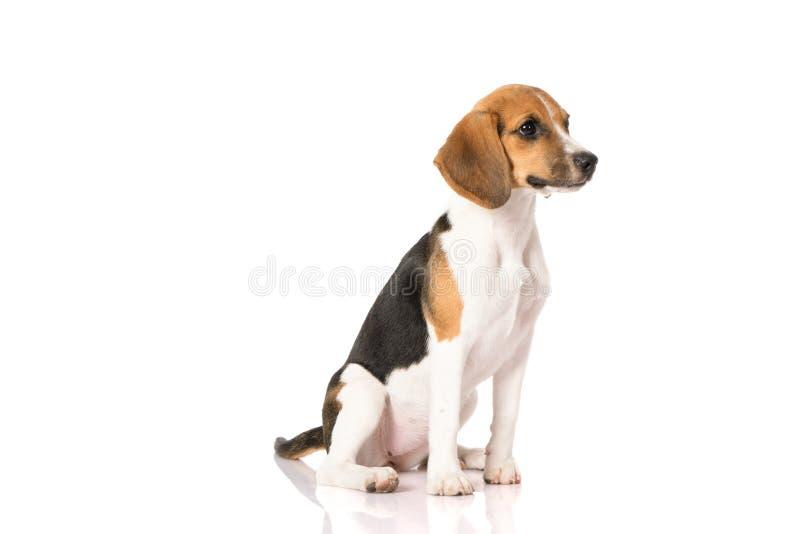 Σκυλί λαγωνικών που απομονώνεται στο λευκό στοκ φωτογραφίες