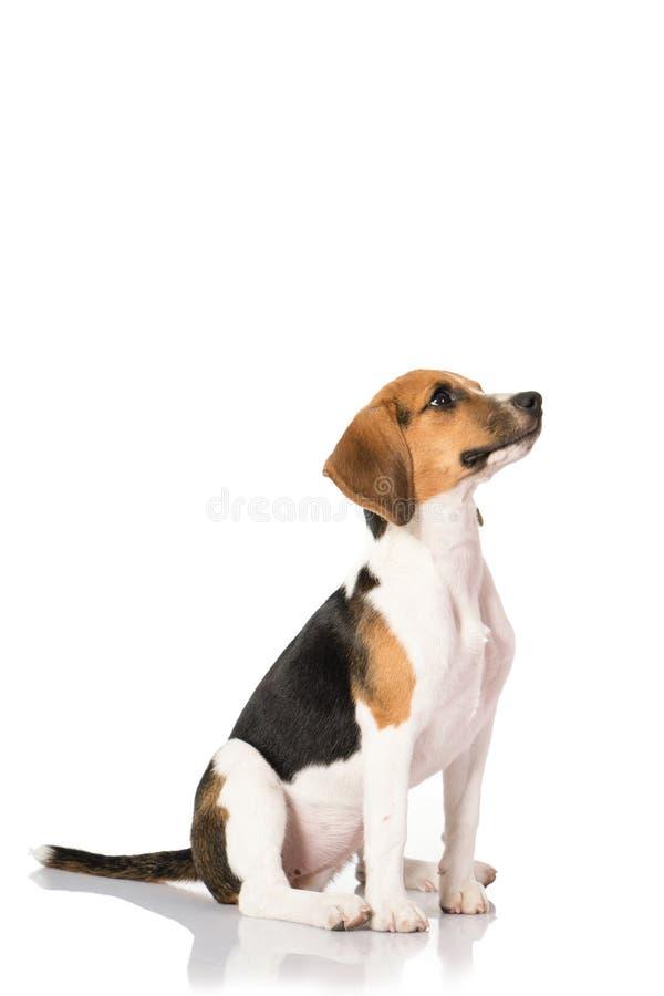 Σκυλί λαγωνικών που απομονώνεται στο λευκό στοκ φωτογραφία με δικαίωμα ελεύθερης χρήσης