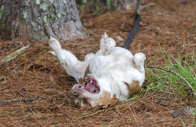 Σκυλί λαγωνικών που κυλά στην πλάτη του στοκ εικόνες