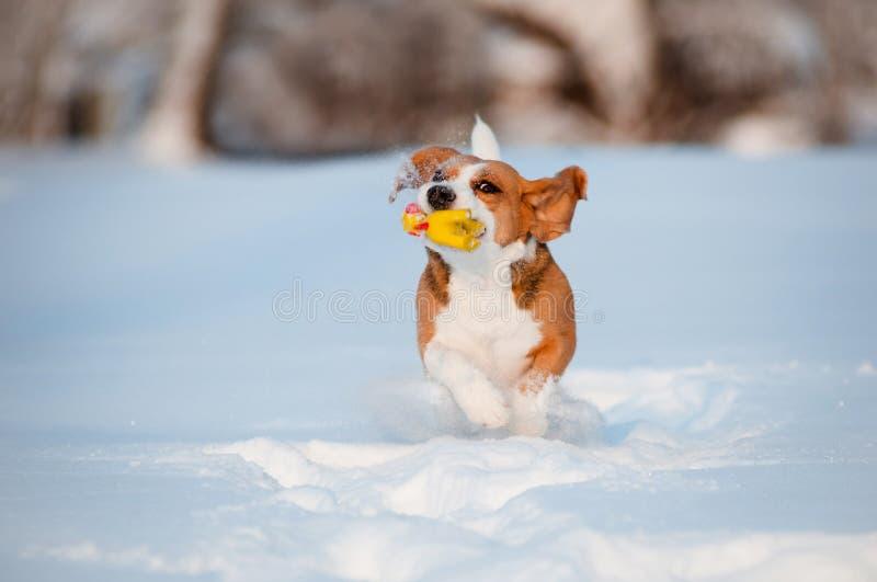 Σκυλί λαγωνικών που τρέχει και που παίζει με ένα παιχνίδι στο χιόνι στοκ εικόνες