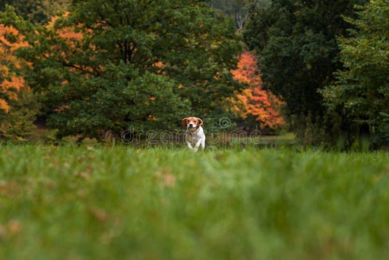 Σκυλί λαγωνικών που τρέχει στη χλόη η κινηματογράφηση σε πρώτο πλάνο ανασκόπησης φθινοπώρου χρωματίζει το φύλλο κισσών πορτοκαλί στοκ φωτογραφία