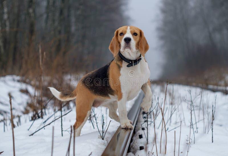 Σκυλί λαγωνικών σε έναν περίπατο σε χειμερινό ομιχλώδες ημερησίως στοκ φωτογραφία με δικαίωμα ελεύθερης χρήσης