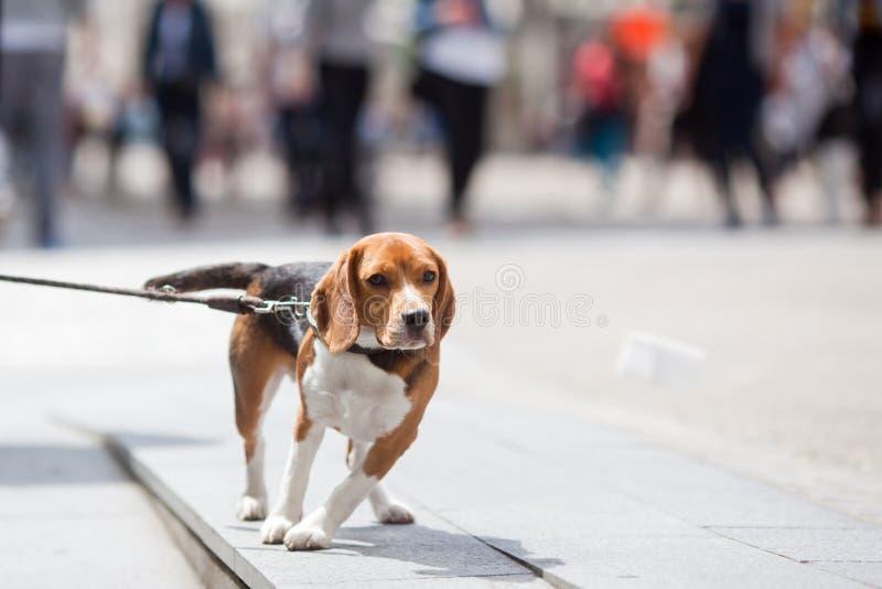 Σκυλί λαγωνικών στην πόλη στοκ φωτογραφία με δικαίωμα ελεύθερης χρήσης
