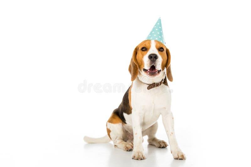 σκυλί λαγωνικών στον κώνο κομμάτων στοκ φωτογραφία με δικαίωμα ελεύθερης χρήσης