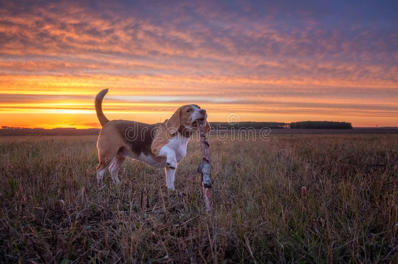 Σκυλί λαγωνικών στο υπόβαθρο ενός όμορφου ηλιοβασιλέματος φθινοπώρου στοκ εικόνα με δικαίωμα ελεύθερης χρήσης