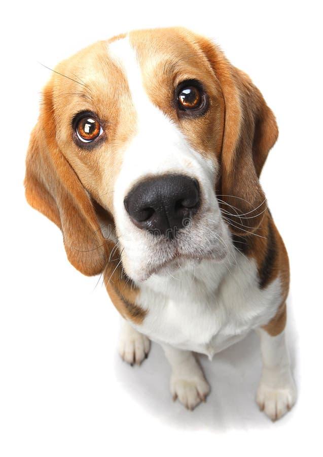 σκυλί λαγωνικών στοκ εικόνα