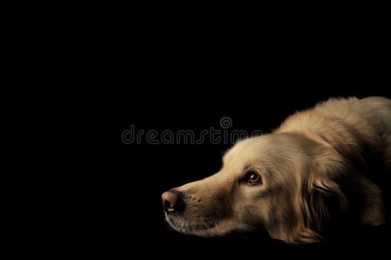 σκυλί Λαμπραντόρ στοκ εικόνες