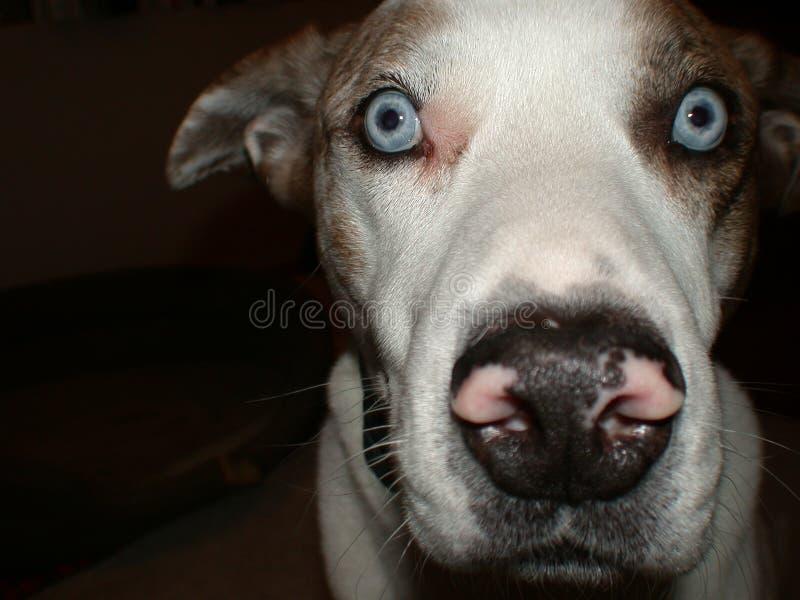 σκυλί Λουιζιάνα catahoula στοκ φωτογραφίες