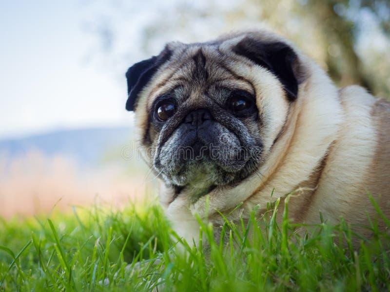 Σκυλί μαλαγμένου πηλού που σκύβεται σε έναν πράσινο χορτοτάπητα στοκ φωτογραφία