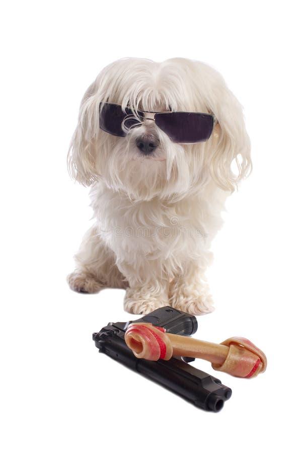 σκυλί Μαλτέζος κόκκαλων στοκ εικόνες