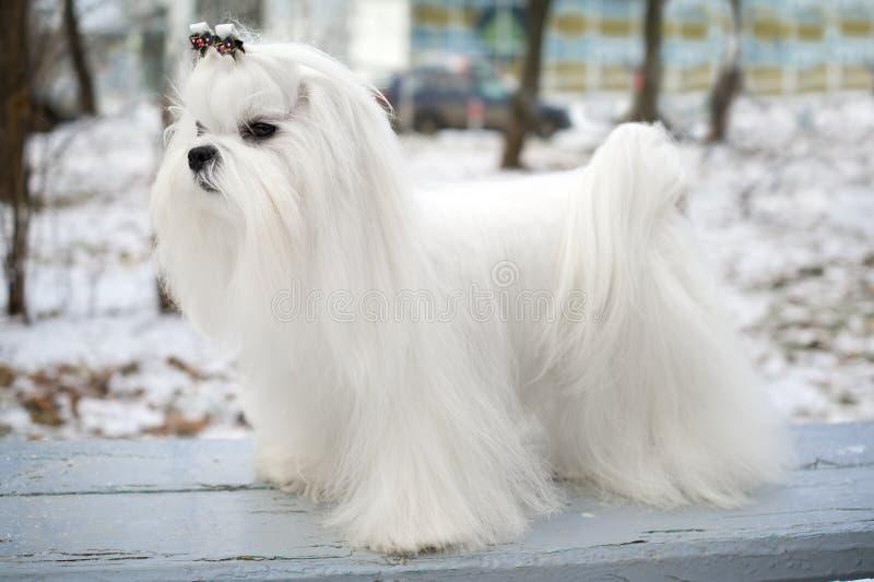 σκυλί Μαλτέζος στοκ εικόνες με δικαίωμα ελεύθερης χρήσης