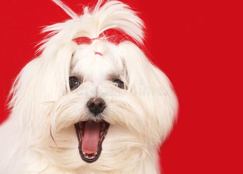 σκυλί Μαλτέζος στοκ φωτογραφία με δικαίωμα ελεύθερης χρήσης