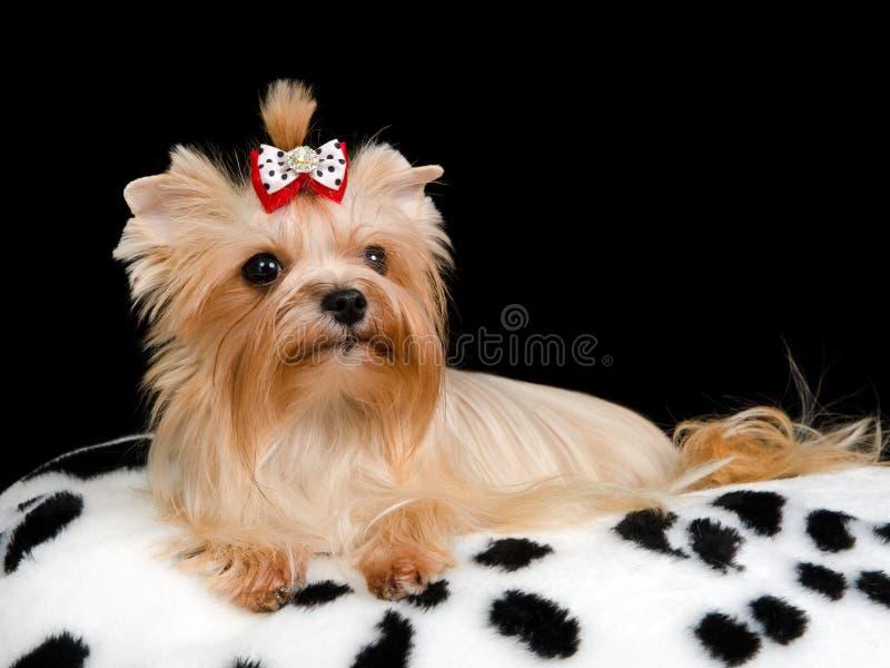 σκυλί μαξιλαριών βασιλι&kap στοκ εικόνες