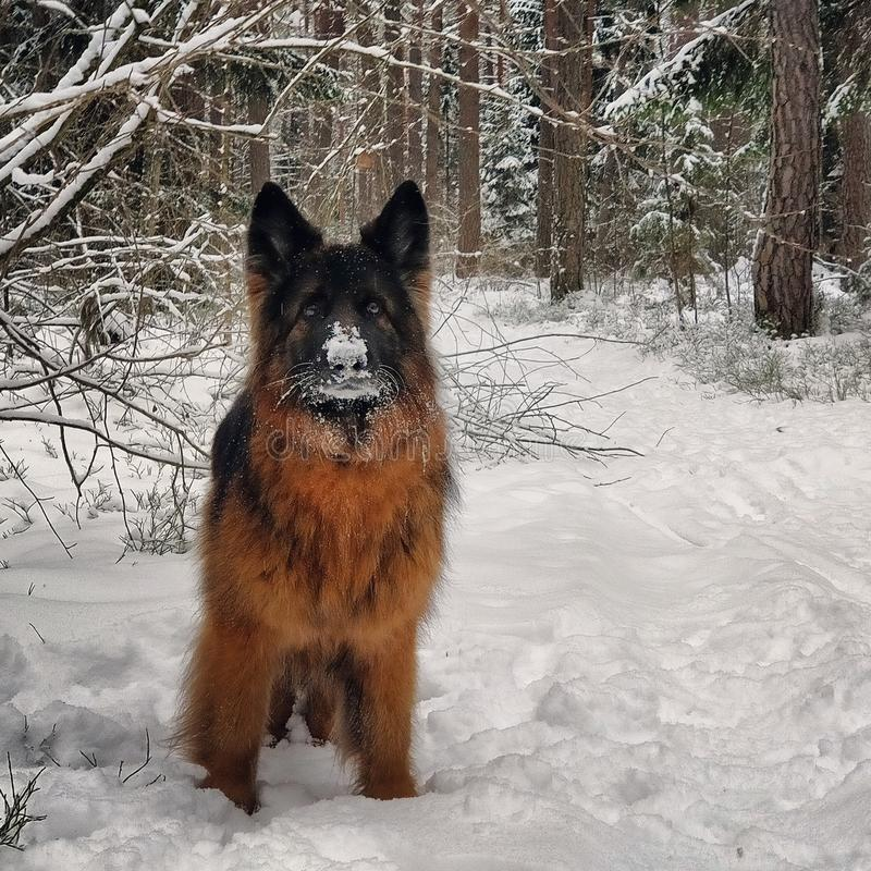 Σκυλί με τη μύτη χιονιού στοκ εικόνα