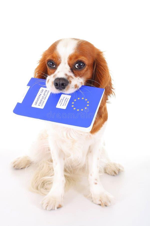 Σκυλί με το διαβατήριο κατοικίδιων ζώων που μεταναστεύει ή έτοιμο για διακοπές Το σπανιέλ του Charles βασιλιάδων φέρνει το ζωικό  στοκ φωτογραφία