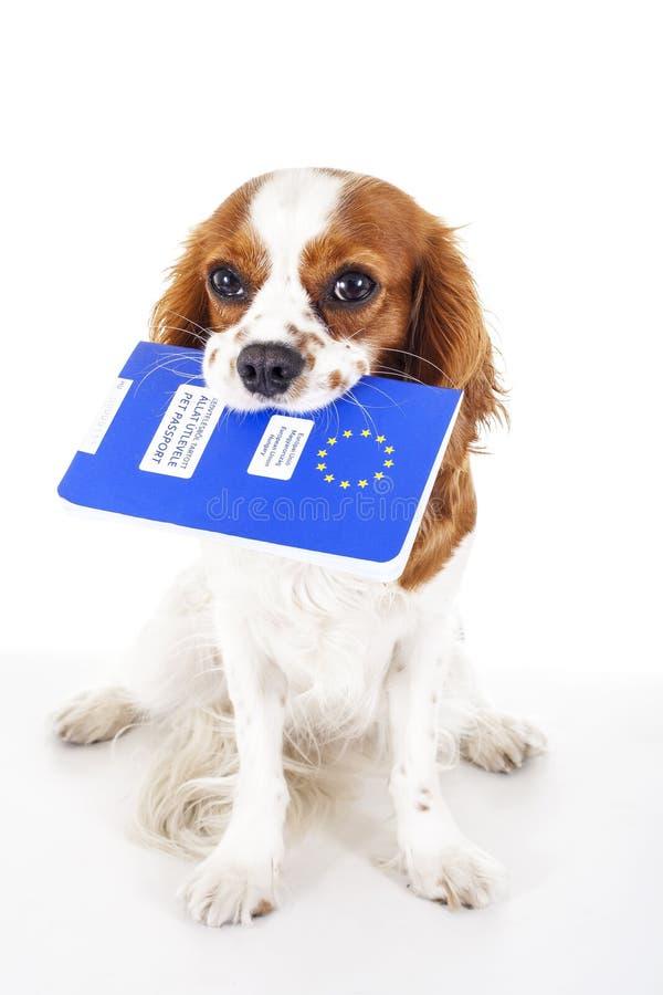 Σκυλί με το διαβατήριο κατοικίδιων ζώων που μεταναστεύει ή έτοιμο για διακοπές Το σπανιέλ του Charles βασιλιάδων φέρνει το ζωικό  στοκ εικόνα