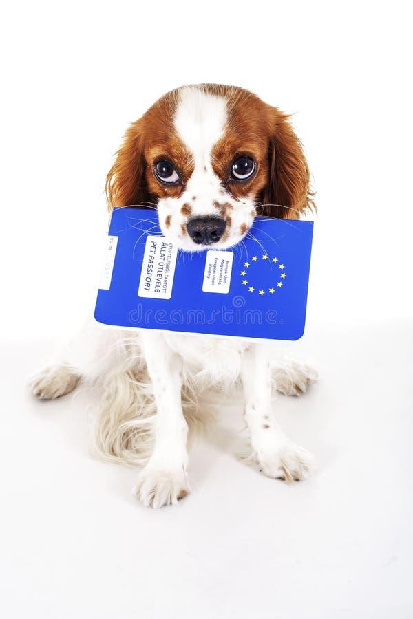 Σκυλί με το διαβατήριο κατοικίδιων ζώων που μεταναστεύει ή έτοιμο για διακοπές Το σπανιέλ του Charles βασιλιάδων φέρνει το ζωικό  στοκ εικόνες