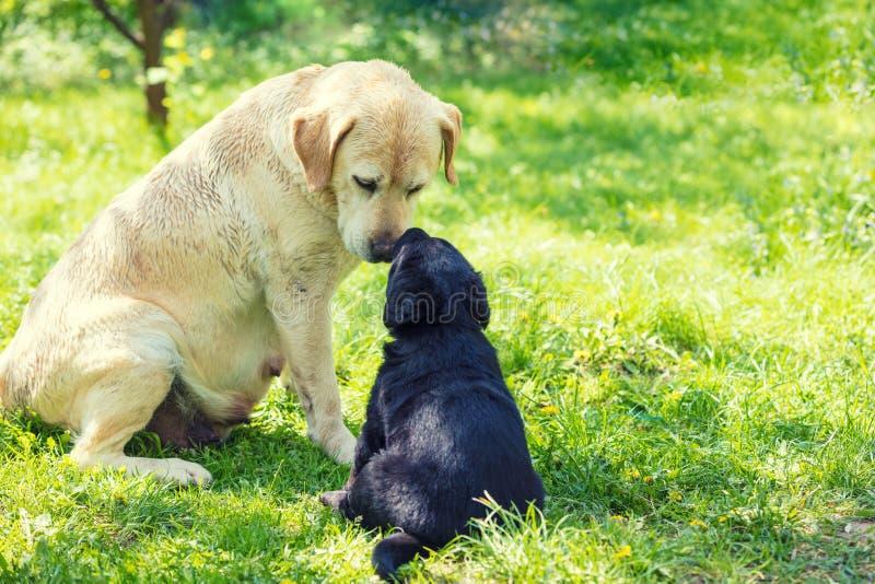 Σκυλί μητέρων και λίγο sniff κουταβιών ο ένας στον άλλο στοκ εικόνες με δικαίωμα ελεύθερης χρήσης