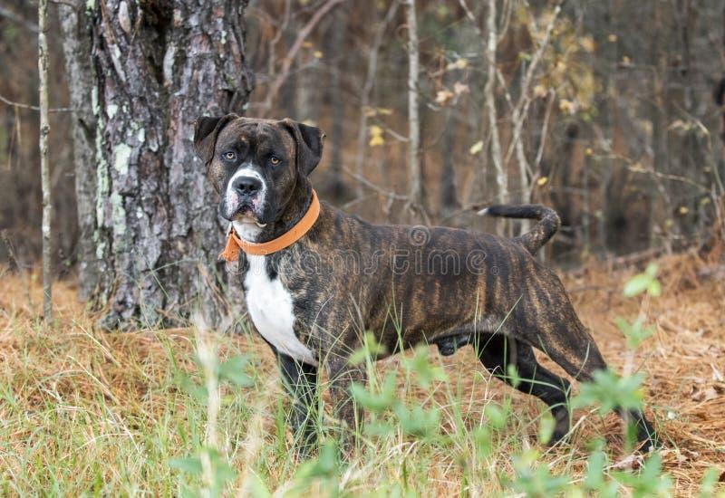 Σκυλί μιγμάτων μαστήφ μπόξερ Brindle με το πορτοκαλί περιλαίμιο στοκ εικόνες με δικαίωμα ελεύθερης χρήσης