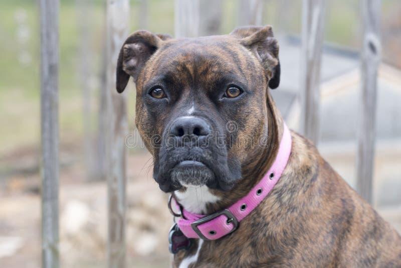 Σκυλί μιγμάτων μπόξερ Brindle στοκ εικόνα με δικαίωμα ελεύθερης χρήσης