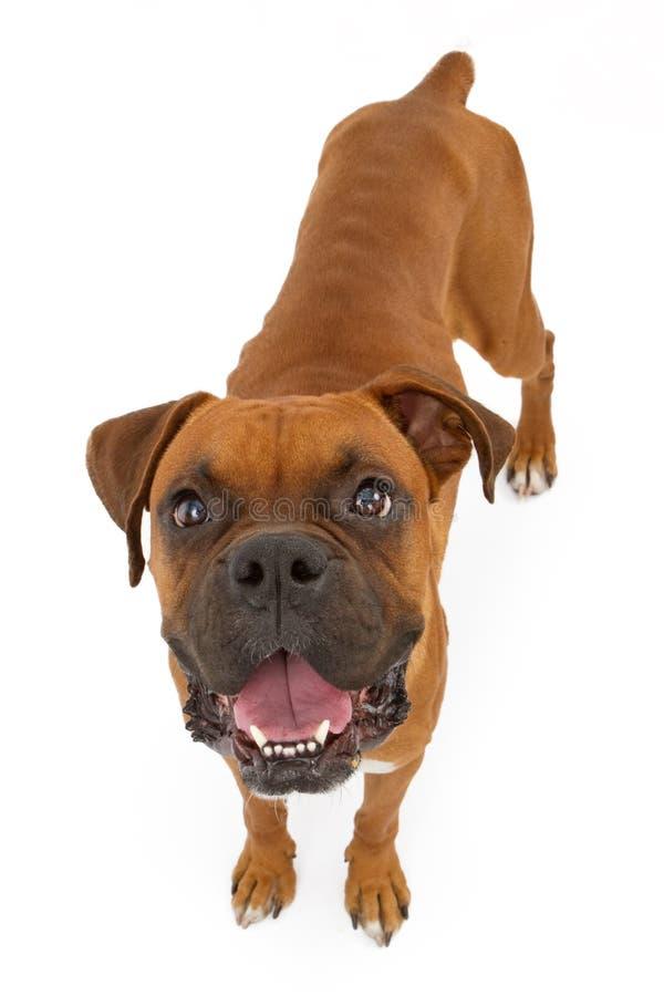 Σκυλί μπόξερ μεμβρανοειδές στοκ εικόνες με δικαίωμα ελεύθερης χρήσης