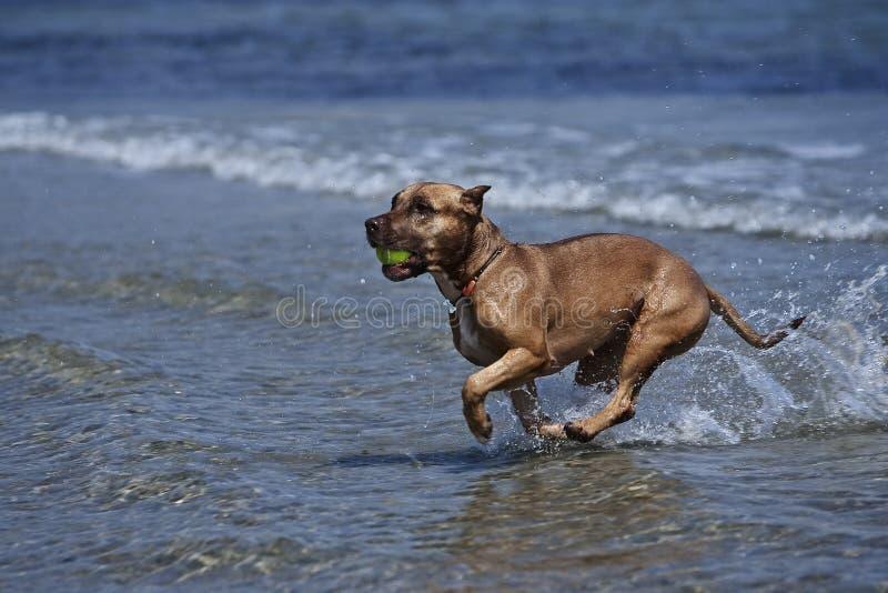 σκυλί μπόξερ στοκ φωτογραφίες